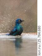 Купить «Cape glossy starling (Lamprotormis nitens) bathing, Zimanga private game reserve, KawZulu-Natal) South Africa, September», фото № 25784680, снято 12 июля 2020 г. (c) Nature Picture Library / Фотобанк Лори