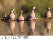 Купить «Laughing doves (Streptopelia senegalensis) at water. Zimanga private game reserve, KwaZulu-Natal, South Africa. June.», фото № 25784688, снято 12 июля 2020 г. (c) Nature Picture Library / Фотобанк Лори