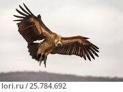 Купить «Whitebacked vulture  (Gyps africanus). Zimanga private game reserve, KwaZulu-Natal, South Africa. September.», фото № 25784692, снято 5 июля 2020 г. (c) Nature Picture Library / Фотобанк Лори