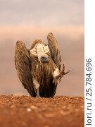 Купить «Whitebacked vulture (Gyps africanus). Zimanga private game reserve, KwaZulu-Natal, South Africa. September.», фото № 25784696, снято 12 июля 2020 г. (c) Nature Picture Library / Фотобанк Лори