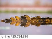 Купить «Nile crocodile (Crocodylus niloticus) tail in water Zimanga private game reserve, KwaZulu-Natal, South Africa. September.», фото № 25784896, снято 12 июля 2020 г. (c) Nature Picture Library / Фотобанк Лори