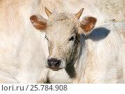 Купить «White Chillingham cattle calf, Chillingham Park, Northumberland, UK.», фото № 25784908, снято 12 июля 2020 г. (c) Nature Picture Library / Фотобанк Лори