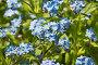 Нежные голубые цветки незабудки альпийской садовой (лат. (Myosotis hybrida) на весенней клумбе, фото № 25786296, снято 14 апреля 2013 г. (c) Наталья Гармашева / Фотобанк Лори