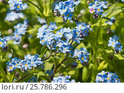Купить «Нежные голубые цветки незабудки альпийской садовой (лат. (Myosotis hybrida) на весенней клумбе», фото № 25786296, снято 14 апреля 2013 г. (c) Наталья Гармашева / Фотобанк Лори
