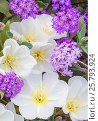 Купить «Flowering Sand verbena (Abronia) and Birdcage evening primrose (Oenothera deltoides) close up, Anza-Borrego State Park,  California, USA. March 2017. These...», фото № 25793924, снято 23 июля 2018 г. (c) Nature Picture Library / Фотобанк Лори