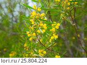 Купить «acacia dodonaefolia yellow flowers», фото № 25804224, снято 21 октября 2018 г. (c) Яков Филимонов / Фотобанк Лори