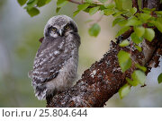 Купить «Fledgling Northern Hawk Owl (Surnia ulula). Finland. June.», фото № 25804644, снято 19 мая 2019 г. (c) Nature Picture Library / Фотобанк Лори
