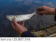 Свежевыловленная рыба, в руках пожилого рыбака, крупный план. Стоковое фото, фотограф Kroshanya / Фотобанк Лори
