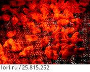 Купить «Маленькие  перепелята, освещенные  инфракрасной лампой», фото № 25815252, снято 21 июня 2014 г. (c) Ирина Борсученко / Фотобанк Лори