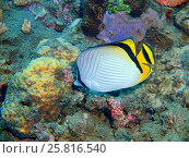 Коралловая рыба, остров Бали, Ловина риф, Индонезия. Стоковое фото, фотограф Александр Огурцов / Фотобанк Лори