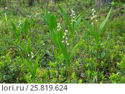 Купить «Blooming plants Lily of the valley in spring forest», фото № 25819624, снято 29 мая 2016 г. (c) Терешко Сергей / Фотобанк Лори