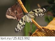 Купить «Тропические бабочки на ручке корзины», фото № 25823992, снято 3 декабря 2016 г. (c) Иванова Анастасия / Фотобанк Лори