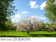 Купить «Frame of the branches of blossoming apple and blue sky», фото № 25824016, снято 11 мая 2016 г. (c) Чебеляев Геннадий / Фотобанк Лори