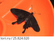Купить «Тропическая бабочка парусник Леви», фото № 25824020, снято 25 марта 2017 г. (c) Иванова Анастасия / Фотобанк Лори