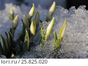 Group of snowdrops in the melted snow - the first spring flowers. Стоковое фото, фотограф Марина Горянцева / Фотобанк Лори
