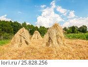 Купить «Снопы спелой пшеницы сложены в скирды на поле в летний солнечный день. Сельский пейзаж», фото № 25828256, снято 20 июля 2019 г. (c) FotograFF / Фотобанк Лори