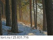 Утро в сосновом лесу. Стоковое фото, фотограф Владимир Мигонькин / Фотобанк Лори