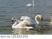 Купить «Несколько разновозрастных лебедей шипунов (лат. Cygnus olor) на зимовке в Черном море», фото № 25833016, снято 8 марта 2017 г. (c) Наталья Гармашева / Фотобанк Лори
