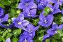 Цветы широковолокольчика, фото № 25833728, снято 11 мая 2014 г. (c) Наталья Волкова / Фотобанк Лори