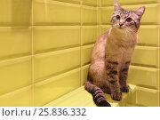Купить «Gray cat with black stripes sitting on ledge of wall in bathroom», фото № 25836332, снято 9 марта 2015 г. (c) Losevsky Pavel / Фотобанк Лори