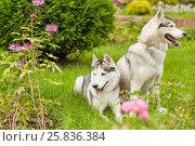 Купить «Two husky dogs on green grassy lawn in summer park», фото № 25836384, снято 23 июля 2015 г. (c) Losevsky Pavel / Фотобанк Лори