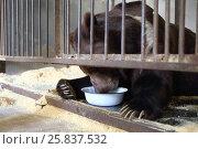 Купить «The Himalayan bear with a bowl in a cage with wood sawdust», фото № 25837532, снято 2 мая 2015 г. (c) Losevsky Pavel / Фотобанк Лори