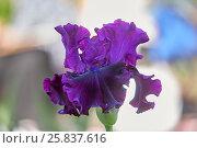 Ирис на абстрактном фоне (Purple iris) Стоковое фото, фотограф Владимир Борисов / Фотобанк Лори