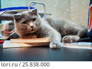 Купить «Big grey cat lies on table with books», фото № 25838000, снято 21 ноября 2015 г. (c) Losevsky Pavel / Фотобанк Лори