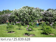 Купить «MOSCOW - MAY 25, 2015: Lilac garden with flowering shrubs in Moscow against a blue sky», фото № 25839628, снято 25 мая 2015 г. (c) Losevsky Pavel / Фотобанк Лори