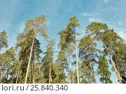 Купить «Trunks and crowns of pines against blue sky», фото № 25840340, снято 1 июня 2015 г. (c) Losevsky Pavel / Фотобанк Лори