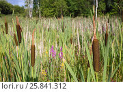 Купить «Thickets of reed mace and flower willow-herb», фото № 25841312, снято 17 июля 2015 г. (c) Losevsky Pavel / Фотобанк Лори