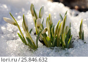 Snowdrops in the sparking melted snow. Стоковое фото, фотограф Марина Горянцева / Фотобанк Лори