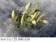 Delicate buds of snowdrops. Стоковое фото, фотограф Марина Горянцева / Фотобанк Лори