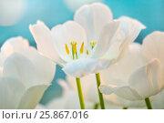 Купить «Белые тюльпаны на голубом», фото № 25867016, снято 4 марта 2016 г. (c) Татьяна Белова / Фотобанк Лори