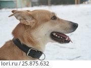 Купить «Рыжий пес», фото № 25875632, снято 22 февраля 2020 г. (c) Илюхин Илья / Фотобанк Лори