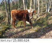 Купить «Любопытный теленок на прогулке в лесу», фото № 25880624, снято 9 марта 2017 г. (c) DiS / Фотобанк Лори