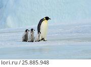 Купить «Emperor Penguin with chick», фото № 25885948, снято 20 октября 2010 г. (c) Vladimir / Фотобанк Лори