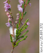 Listspinne, Weibchen auf dem Kokon, (Pisaura mirabilis), Deutschland. Стоковое фото, фотограф Zoonar/G.Wolf / age Fotostock / Фотобанк Лори