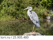 Купить «A grey heron (Ardea cinerea) posing on a stone above the pond at Maruyama Park (Maruyama Koen) Higashiyama district in Kyoto, Japan», фото № 25905480, снято 17 июля 2018 г. (c) BE&W Photo / Фотобанк Лори