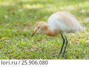 Купить «The cattle egret (Bubulcus ibis) cosmopolitan species of heron, Viharamahadevi Park, Colombo, Sri Lanka», фото № 25906080, снято 26 марта 2019 г. (c) BE&W Photo / Фотобанк Лори