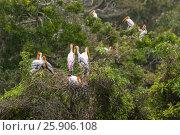 Beautiful Painted Stork (Mycteria leucocephala), Anuradhapura, Sri Lanka, Asia. Стоковое фото, агентство BE&W Photo / Фотобанк Лори