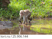 Купить «The toque macaque (Macaca sinica) is a reddish-brown-coloured Old World monkey endemic to Sri Lanka», фото № 25906144, снято 17 октября 2018 г. (c) BE&W Photo / Фотобанк Лори