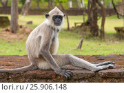Купить «Gray langurs or Hanuman langurs, the most widespread langurs of the Indian Subcontinent, are a group of Old World monkeys, Polonnaruwa, Sri Lanka», фото № 25906148, снято 25 мая 2019 г. (c) BE&W Photo / Фотобанк Лори