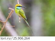 Купить «Little green bee-eater (merops orientalis), Yala National Park, Sri Lanka, Asia», фото № 25906264, снято 18 июля 2019 г. (c) BE&W Photo / Фотобанк Лори