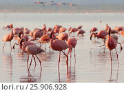 Купить «The lesser flamingoes (Phoenicopterus minor) at lake Nakuru, Kenya», фото № 25906928, снято 25 марта 2019 г. (c) BE&W Photo / Фотобанк Лори