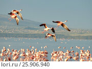 Купить «The lesser flamingoes (Phoenicopterus minor) at lake Nakuru, Kenya», фото № 25906940, снято 25 марта 2019 г. (c) BE&W Photo / Фотобанк Лори