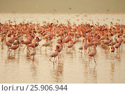 Купить «The lesser flamingoes (Phoenicopterus minor) at lake Nakuru, Kenya», фото № 25906944, снято 25 марта 2019 г. (c) BE&W Photo / Фотобанк Лори