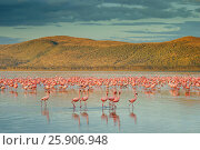 Купить «The lesser flamingoes (Phoenicopterus minor) at lake Nakuru, Kenya», фото № 25906948, снято 25 марта 2019 г. (c) BE&W Photo / Фотобанк Лори