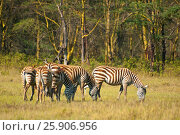 Купить «Plain zebras in Lake Nakuru National Park, Kenya», фото № 25906956, снято 12 декабря 2019 г. (c) BE&W Photo / Фотобанк Лори