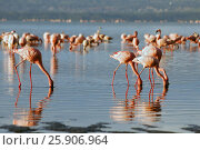 Купить «The lesser flamingoes (Phoenicopterus minor) at lake Nakuru, Kenya», фото № 25906964, снято 25 марта 2019 г. (c) BE&W Photo / Фотобанк Лори